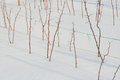 Raspberry plants in winter Royalty Free Stock Photo