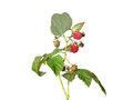 Raspberry rubus idaeus colorful and crisp image of Royalty Free Stock Photography