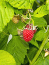 Raspberry rubus idaeus fruits leaves and plant Royalty Free Stock Images