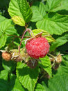 Raspberry on a twig Royalty Free Stock Photo