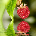 Raspberry in water Royalty Free Stock Photos