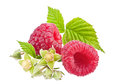 Raspberry on white Stock Image