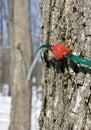 Rassemblement de la sève d'arbre d'érable Photo stock