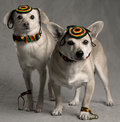 Rastafarian Dogs Stock Photography