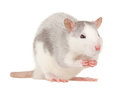 Royalty Free Stock Image Rat