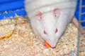 Rat in cage Royalty Free Stock Image