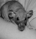 Rat chauve Photos stock