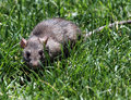 Rat close up of rodent sitting in green grass Stock Photo