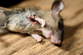 Rat death on wood texture cause from wound or injury Royalty Free Stock Photo