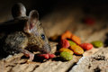 Rat eating feed on wood texture background Stock Photos