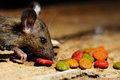 Rat eating feed on wood texture background Stock Images