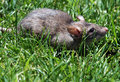 Rat gray rodent sitting in green grass Royalty Free Stock Photography