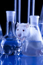 Rat in lab. Animal experiments Royalty Free Stock Photography
