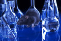 Rat in lab. Animal experiments Royalty Free Stock Photo