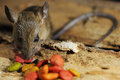 Rat pilfer eat feed on wood texture background Stock Photography