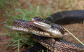 Rat snake pantherophis obsoletus with its tongue out Stock Photography