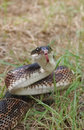 Rat snake pantherophis obsoletus with its tongue outside Royalty Free Stock Image