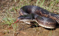 Rat snake pantherophis obsoletus with its tongue outside Stock Photos