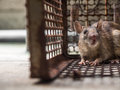 The rat was in a cage catching a rat. the rat has contagion the disease to humans such as Leptospirosis, Plague. Royalty Free Stock Photo