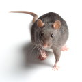 Rat on white Stock Photos
