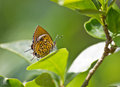 Rathinda amor this photo shows a butterfly which is known as this is a beautiful species Royalty Free Stock Image