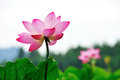 Rattle lotus in full bloom west lake in hangzhou Royalty Free Stock Photo