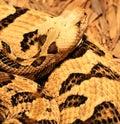 Rattlesnake Coiled