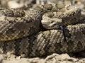 Rattlesnake Coiled To Strike