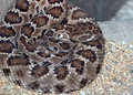 Rattlesnake dangerous coiled rattle snake on gravel background Stock Image