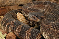 Rattlesnake portrait of a southern pacific Royalty Free Stock Photography