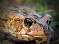 Raucous toad a close up view of a Stock Photo