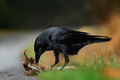 Raven, black bird with dead hare on the road, bloody heart in beak, nature habitat, dark green forest in the background