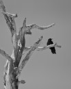 Raven on branch a perched the of a dead tree Royalty Free Stock Photos