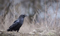 Raven the common corvus corax also known as the northern is a large all black passerine bird photo was taken in ukraine Royalty Free Stock Photography