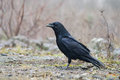 Raven the common corvus corax also known as the northern is a large all black passerine bird photo was taken in ukraine Royalty Free Stock Photo