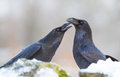 Raven corvus corax couples stay together for their lifetime this pair enjoys a tender and caring behavior to one another Stock Images
