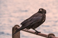 Raven on railing in sunset Royalty Free Stock Photo