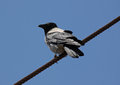 Raven sitting on rope gray over blue sky Royalty Free Stock Photography
