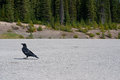 Raven walking in a parking lot Royalty Free Stock Photo