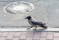 Raven walks on city sidewalks Royalty Free Stock Photo