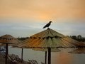 Raven watching night on bamboo sunshade on beach of ada ciganlija Royalty Free Stock Photos