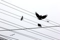 Ravens Royalty Free Stock Photo