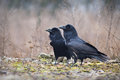 Ravens the common raven corvus corax also known as the northern raven is a large all black passerine bird photo was taken in Stock Image