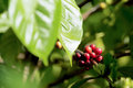 Raw coffe plant in agricultural farm Royalty Free Stock Photo