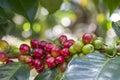Raw Coffee Beans On A Bush In ...