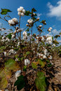 Raw cotton growing in a cotton field bolls on the stalk texas Stock Photos