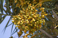 Raw date palm fruits phoenix dactylifera growing on a tree in india their ripen in summer months from april to june in Stock Photography