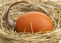 Raw egg yellow in a birds nest with feathers close up Stock Image
