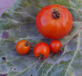 Raw food domestic growth cherry and big tomato s on cabbage leaf Stock Photography