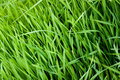 Raw food ingredient grass growing Stock Photo